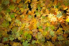 Gold and green maple leaf background royalty free stock photo