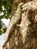 A large green and black striped iguana pauses as it ascends a tree. The canopy casts a dappled shade onto a large green and black striped iguana as it basks in Royalty Free Stock Images