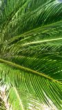 Canopy. Close up of Palm fronds from below Stock Photography