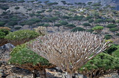Canopy of dead dragon tree Stock Photography