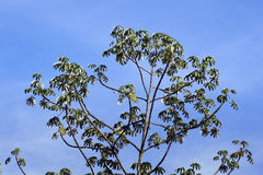 Canopy of embauba tree Cecropia shining on the blue sky Royalty Free Stock Images
