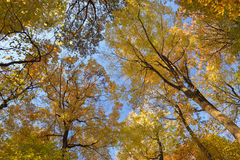 Canopy of fall colors. Royalty Free Stock Photo