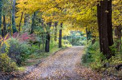 Canopy of gold oak trees over a dirt country road royalty free stock photography