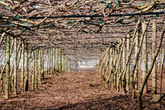 Canopy of Grape Vines Royalty Free Stock Photos