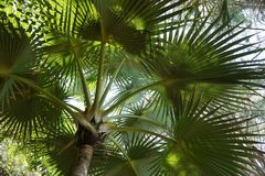 Canopy of green palm tree in the tropics Royalty Free Stock Photography