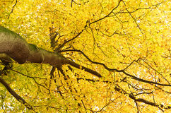 Canopy of leaves. Looking up at the canopy of yellow leaves in a tree royalty free stock image