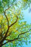 Canopy Of Oak Tree With Foliage In Spring Season. Deciduous Forest Royalty Free Stock Images