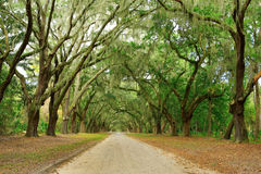 Canopy of oak trees covered in moss. Forsyth Park, Stock Photography