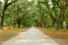 Canopy of oak trees covered in moss. Isle of hope, stock images