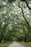 Canopy of oak trees covered in moss. Isle of Hope, Stock Photos