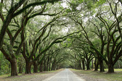 Canopy of oak trees covered in moss. Isle of Hope,. Savannah, GE- Aug16 2014: Canopy of oak trees covered in moss and path in Wormsloe Historic Site.  A Royalty Free Stock Images