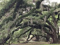 A Canopy Of Oaks Royalty Free Stock Images