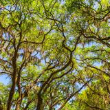 Canopy of old live oak trees draped in spanish moss. royalty free stock image