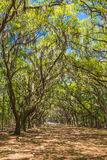 Canopy of old live oak trees draped in spanish moss. Royalty Free Stock Images