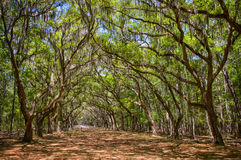 Canopy of old live oak trees draped in spanish moss. Stock Image