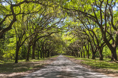 Canopy of old live oak trees draped in spanish moss. Royalty Free Stock Photo