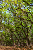 Canopy of old live oak trees draped in spanish moss. Stock Images