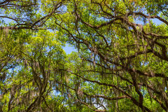 Canopy of old live oak trees draped in spanish moss. Royalty Free Stock Photography