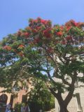 The canopy of orange colour. Flowering tree in Paphos Stock Photography