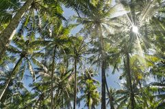 Canopy of palm trees. With sunburst royalty free stock image