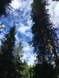 Pine trees along Clearwater River, Idaho. Canopy of pine trees against blue skies along Clearwater River, Idaho Royalty Free Stock Image