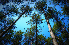 Canopy of Pine Trees. A photo looking up at a canopy of pine trees against a bllue sky background in a forest at Old World Wisconsin in Eagle, WI stock photography