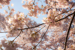 Canopy of Soft Pink Cherry Blossoms Stock Image