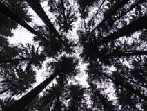 Canopy structure of Silver fir (Abies alba) forest Stock Photos