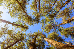 Canopy Of Tall Pine Trees. Upper view Branches Stock Photography
