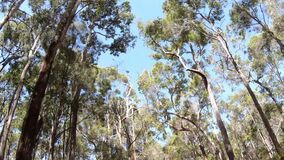 Tall trees as view from drive through a tall trees forest in South Western Australia