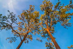 The canopy of tall trees framing a clear blue sky Royalty Free Stock Photos