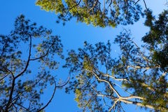 The canopy of tall trees framing a clear blue sky Stock Image