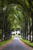Canopy of trees over road to historic home Stock Image