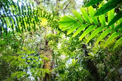 Canopy of tropical Amazon rain forest. Fern and tree leafs stock images