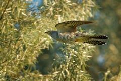 Canorus de Cuculus - coucou commun pendant mouche, migrant répandu d'été vers l'Europe et l'Asie, et les hivers en Afrique, paras photo stock