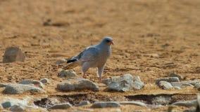 Canorus pálido imaturo de Melierax do goshawk chanting, deserto de Kalahari, África do Sul fotografia de stock royalty free