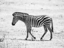 Cansó paseos sedientos de una cebra en tierra seca y agua el buscar, África Fotografía de archivo