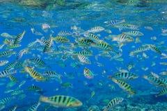 Cant gjorde randig fisken i Indiska oceanen Royaltyfria Foton
