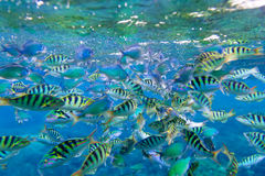Cant striped fish in the Indian Ocean. Bali royalty free stock images