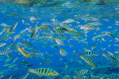 Cant striped fish in the Indian Ocean. Bali royalty free stock photos