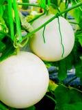 Cantaloup Photo stock