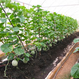 Cantaloup farm. In protecting net house Royalty Free Stock Images
