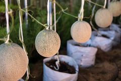 Cantaloup green melon growing in farm. Supported by string melon nets Stock Photography