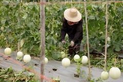 Cantaloupe em Tailândia Fotos de Stock
