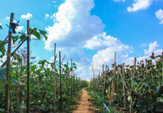 Cantaloupe farm. With blue sky in countryside, Thailand Stock Images