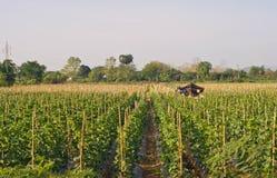 Cantaloupe farm. Cantaloupe Garden, in northern of Thailand royalty free stock image