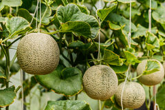 Cantaloupe. Fresh melon on tree. selective focus.  stock images