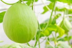 Cantaloupe fruit Stock Photos