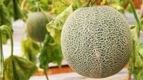 Cantaloupe Royalty Free Stock Photos
