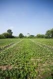 Cantaloupe melon farm. Stock Image
